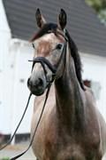 Hest til salg - CAOMI CAMPBELL DM