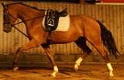 Hest til salg - HØJVANGS ANASTACIA