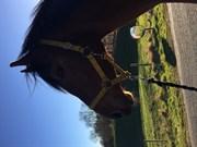 Hest til salg - CASTANA L