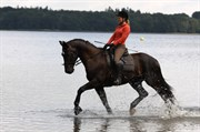 Hest til salg - LAREDO'S FYRSTE