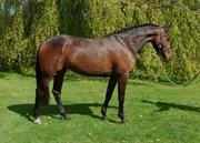 Hest til salg - Dichte
