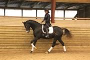 Hest til salg - SPENCER ROYAL