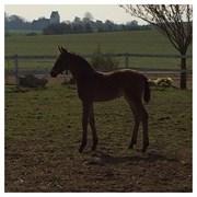 Hest til salg - CHEBO BENJI