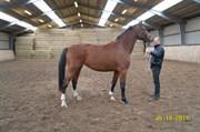 Hest til salg - CASSIA