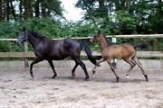 Hest til salg - Barrubio G.