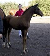 Hest til salg - AVANTADOR ROYAL