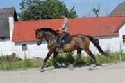 Hest til salg - LORANJA
