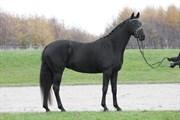 Hest til salg - Pure Gold S.G.