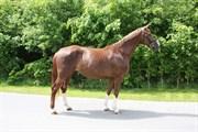 Hest til salg - ANASTACIA