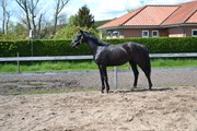 Hest til salg - Sir Hilton