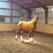 Hest til salg - BYSTEDS RENO