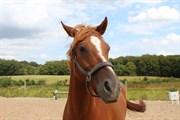 Hest til salg - ELLEHAMMER