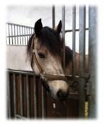 Hest til salg - MARKBOOKS MUCHACHO