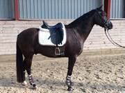 Hest til salg - HELIOS