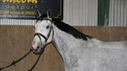 Hest til salg - CAPASHING