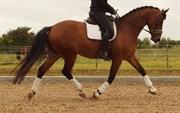 Hest til salg - Firfod