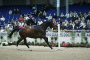 Hest til salg - Platinum of XLNZ