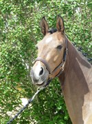 Hest til salg - LANGAGERS TUMARA PINOTAGE