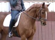 Hest til salg - London Star