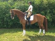 Hest til salg - VIRKELYSTS DOREDO