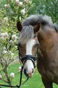 Hest til salg - Ørsbjerggårds Lazio
