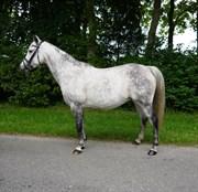 Hest til salg - FEIKE