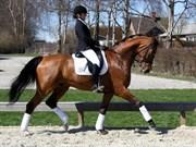 Hest til salg - FRANSESCO 67