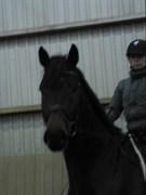 Hest til salg - HØJVANGS LAGERFELD