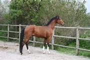 Hest til salg - LE MANS