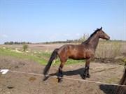 Hest til salg - QUICKI