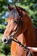 Hest til salg - FONTANA