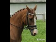 Hest til salg - MONIQUE