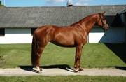 Hest til salg - Q