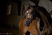 Hest til salg - Adriano