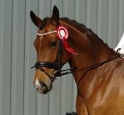 Hest til salg - BAKKEGAARDENS ANEMONE