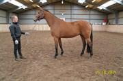 Hest til salg - LIVONIA