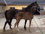Hest til salg - HEILINE'S DONAU PIXIE