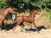 Hest til salg - krogsgårs Don Oblesse