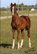 Hest til salg - LISSAU'S GASTON