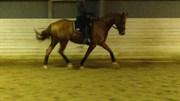 Hest til salg - MONTANA'S PINOCCHIO