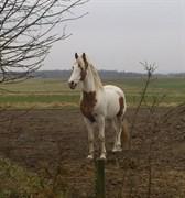 Hest til salg - FELIXGÅRDS ROMEO