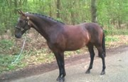 Hest til salg - Cheetano - Cherif