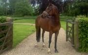 Hest til salg - EG Houdini