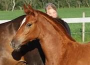 Hest til salg - CARL SMART