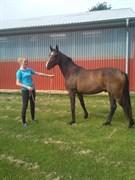 Hest til salg - DIATELLO SKOVBO