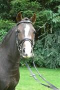Hest til salg - Zig Zag
