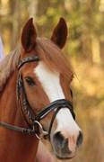 Hest til salg - Trille