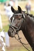 Hest til salg - Micky