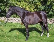 Hest til salg - Hamiltons Magi