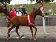 Hest til salg - KRONBORG'S LADY DANCE